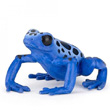 Equatorial blue frog - Toy Figurine